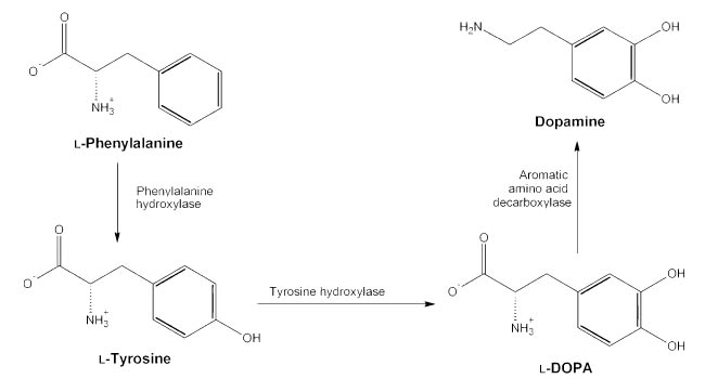 L-Tyrosine Enzyme Interactions